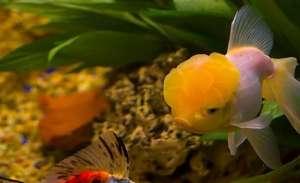 金鱼什么时候产卵